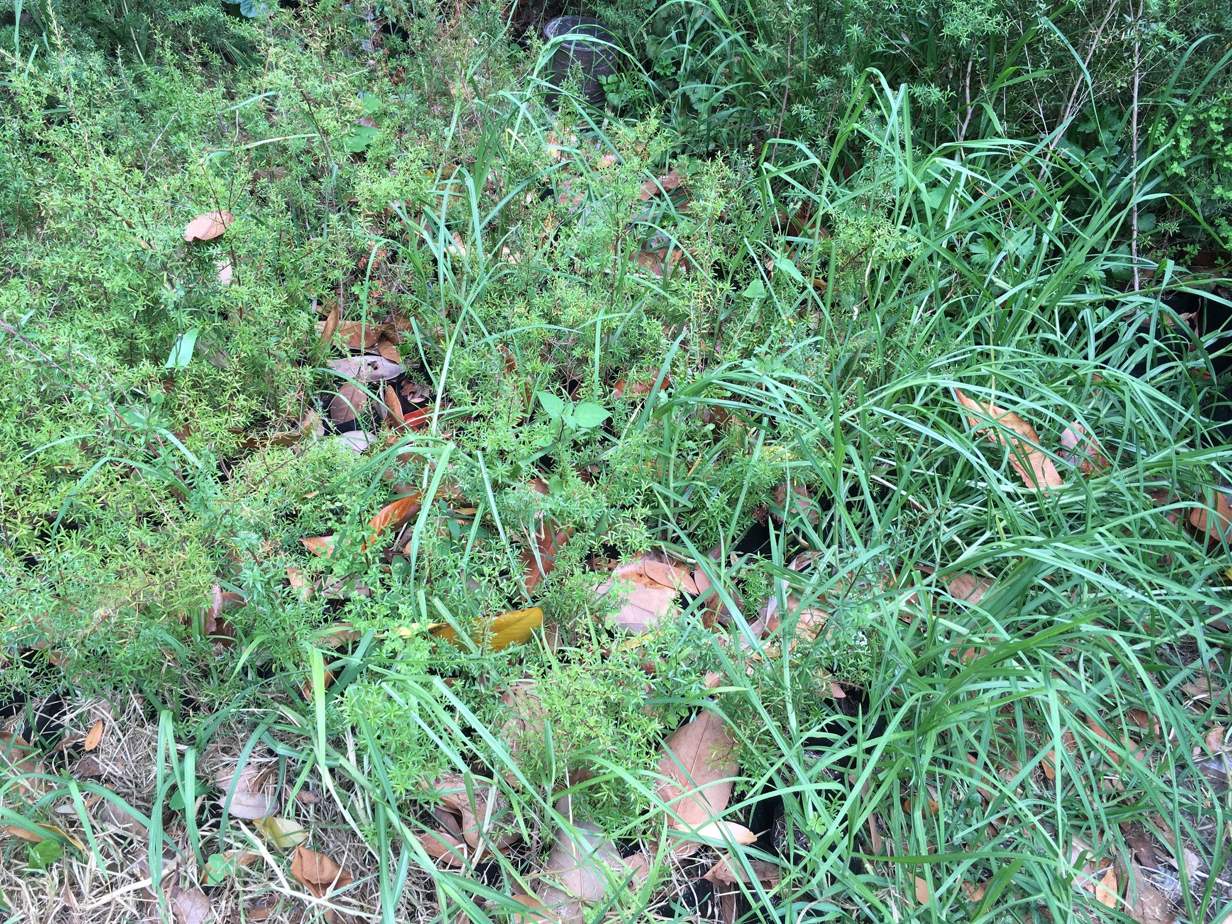 Manuka seedlings overgrown with grasses