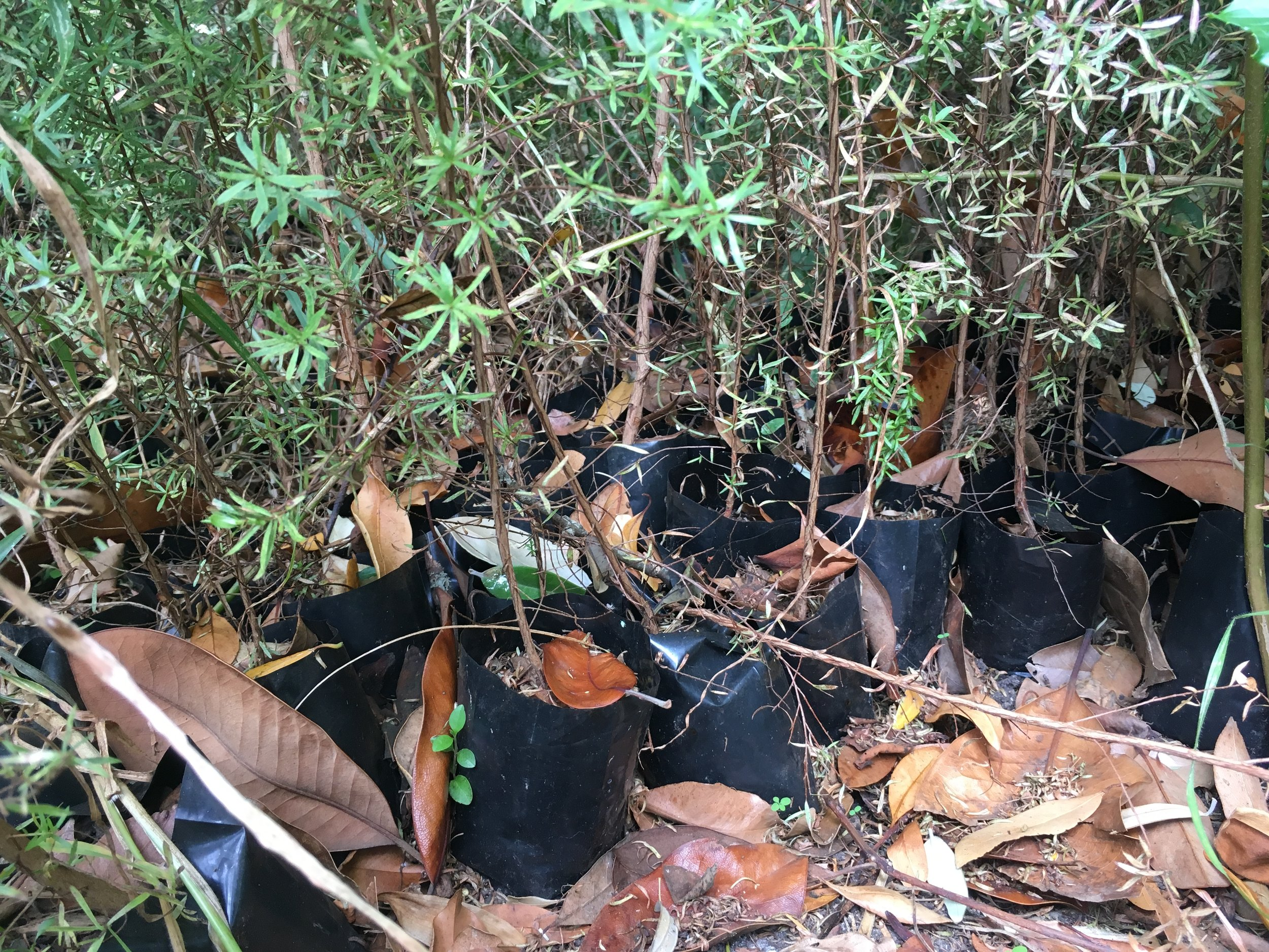 Manuka plant bags straight on the ground