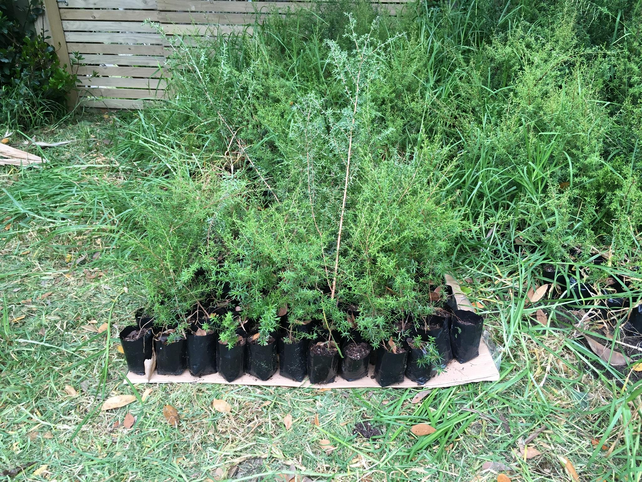 Manuka seedlings laid out on cardboard