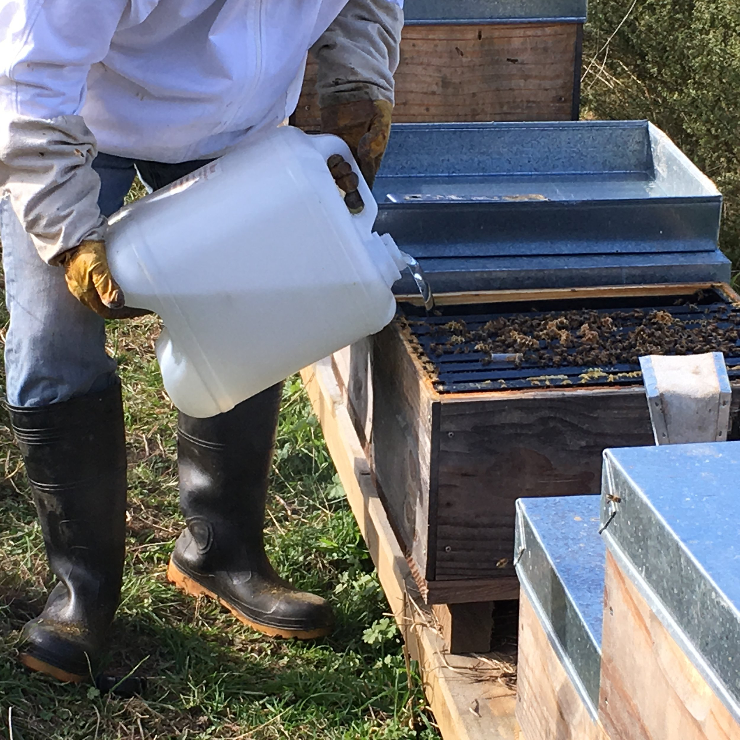 Feeding sugar syrup to bees