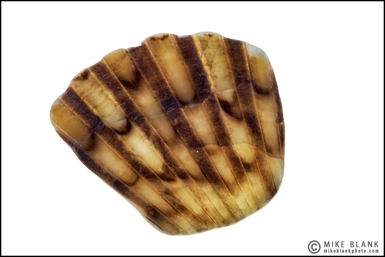 Shell fragment #1