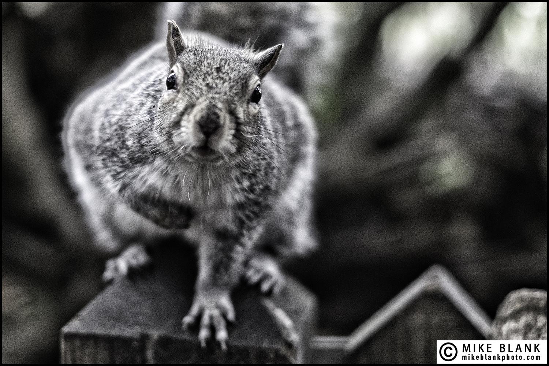 Grey squirrel (with attitude), London 2016