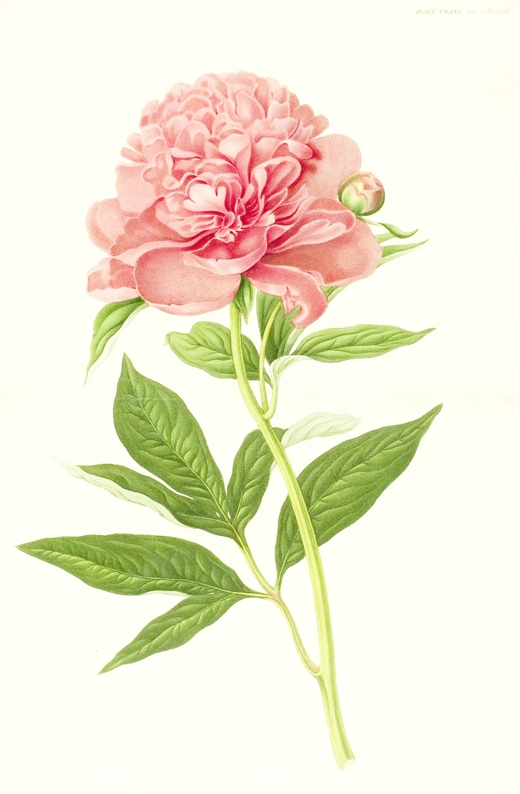 256525e0c2e746b2d773c184cf80c6e6_drawn-peony-vintage-rose-pencil-and-in-color-drawn-peony-vintage-vintage-plant-drawing_736-1140.jpeg