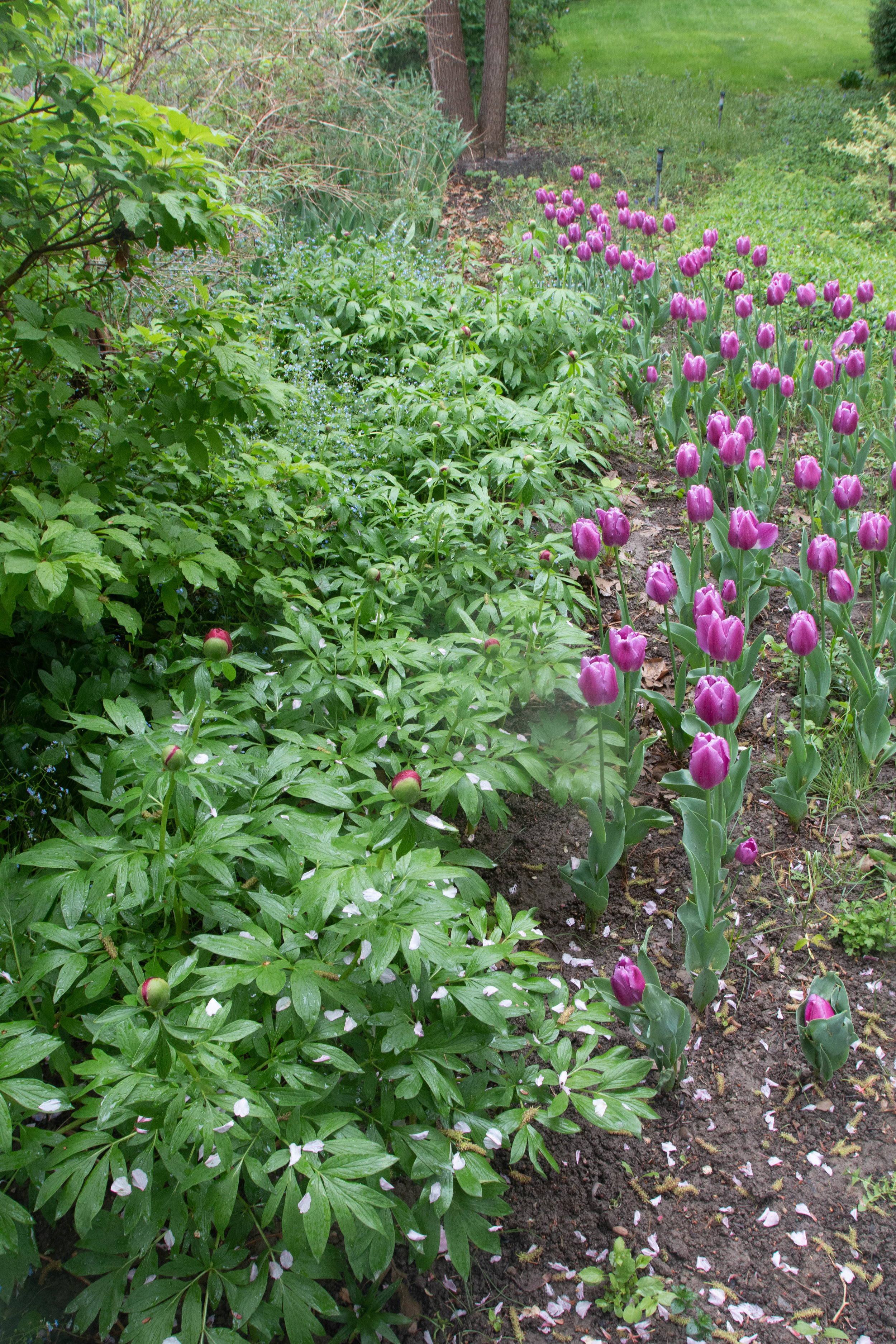 purple flag tulips from Tulip Word. Unknown dark peony variety.