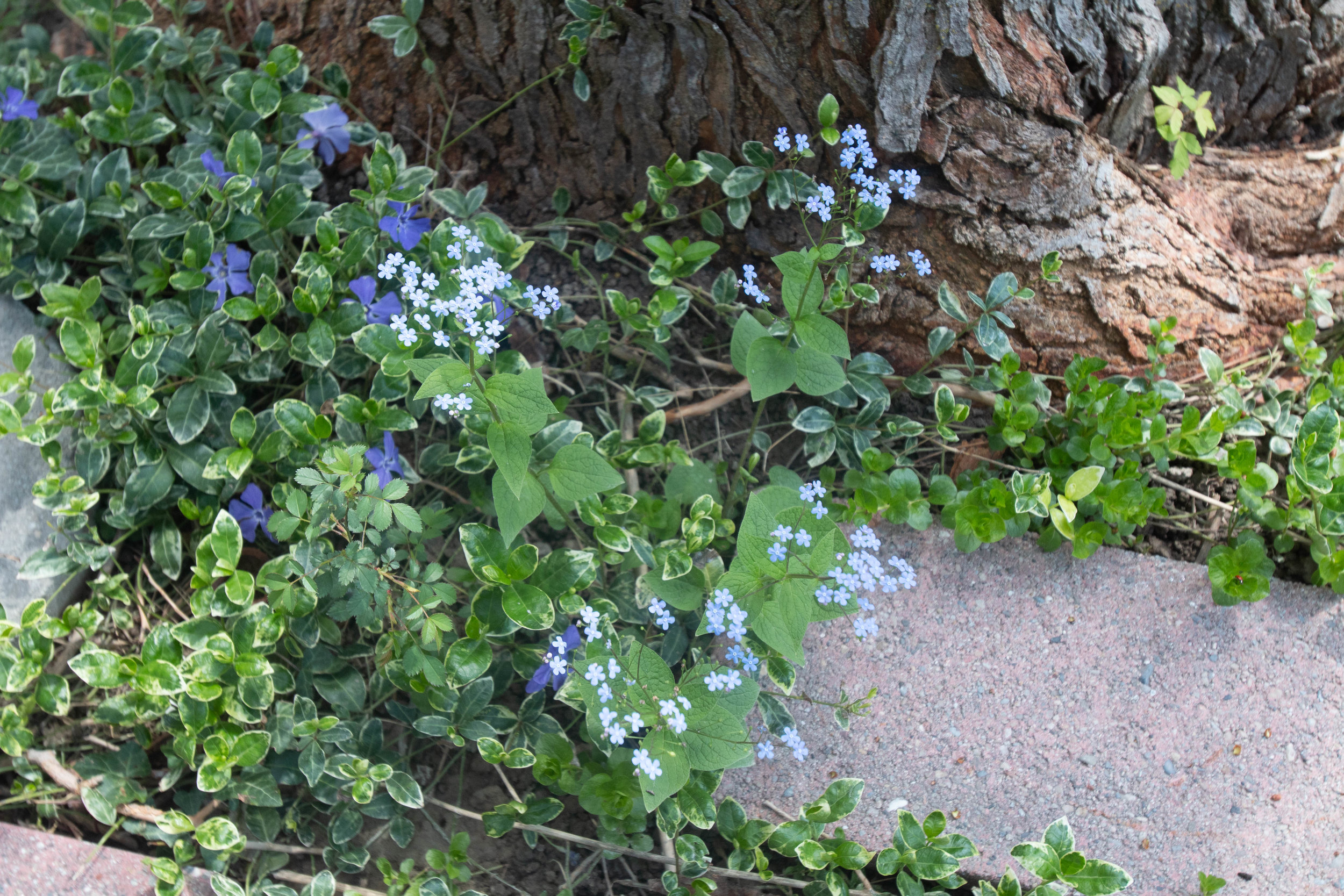 Forget-me-nots (Tiny blue spray flowers, Woodruff (White spray ground cover, Vinca (Common name honeysuckle)