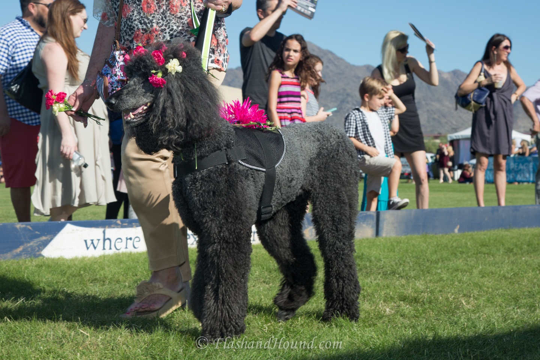 2016 AZ Polo Party Canine Couture Fashion show - poodle