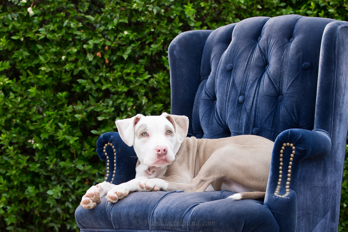 Flash and Hound puppy posed on a blue chair