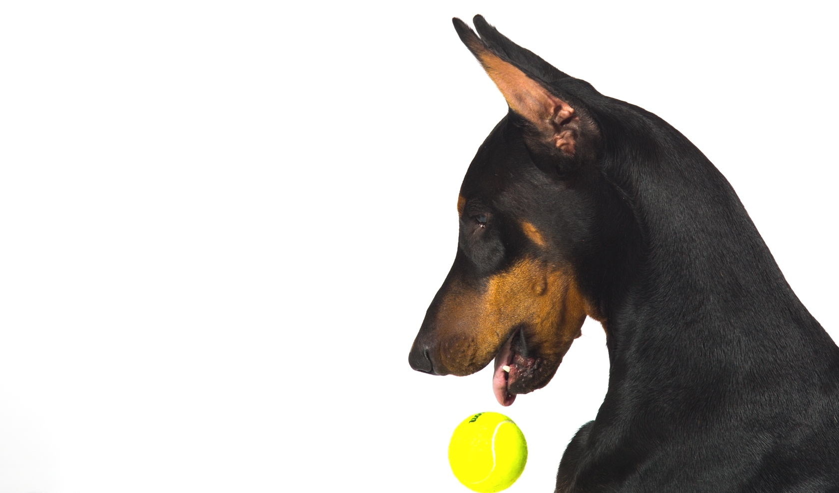 Flash and Hound Doberman with tennis ball