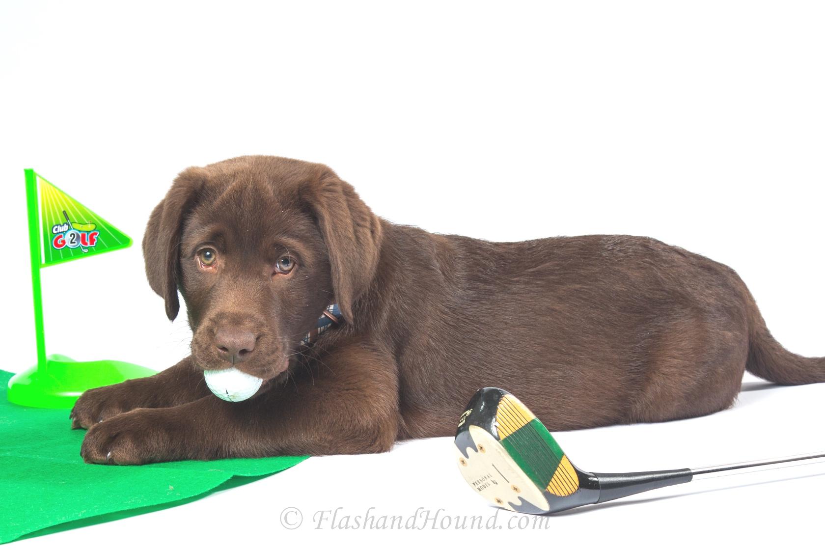 Flash and Hound chocolate lab puppy golf ball