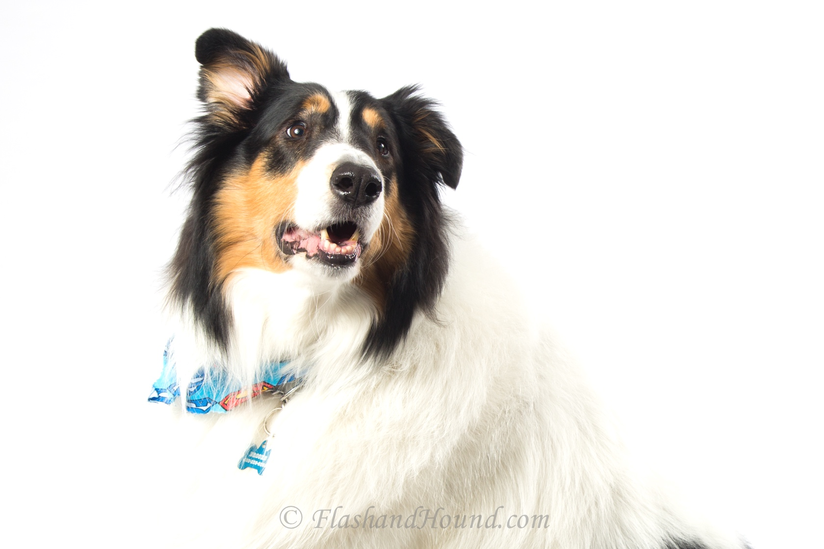 Flash and Hound Collie with ear perked up