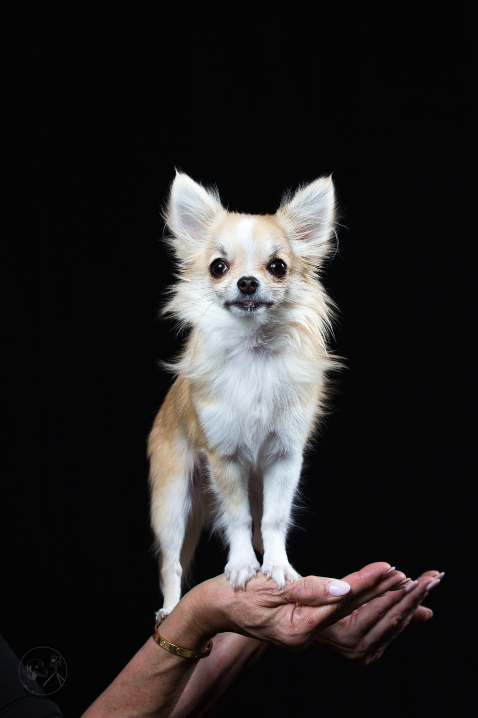 Flash and Hound chihuahua in palm of hand