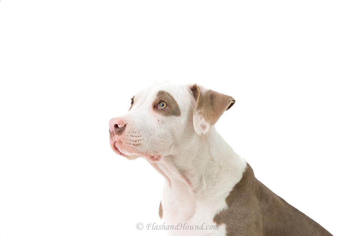 Flash+and+Hound+Pitbull+Puppy