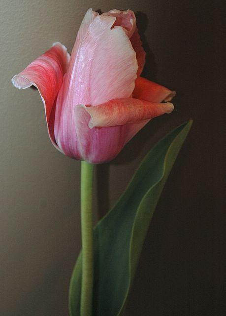 A Shaded Tulip