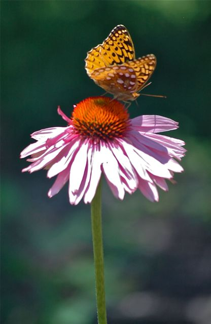 The Lone Butterfly