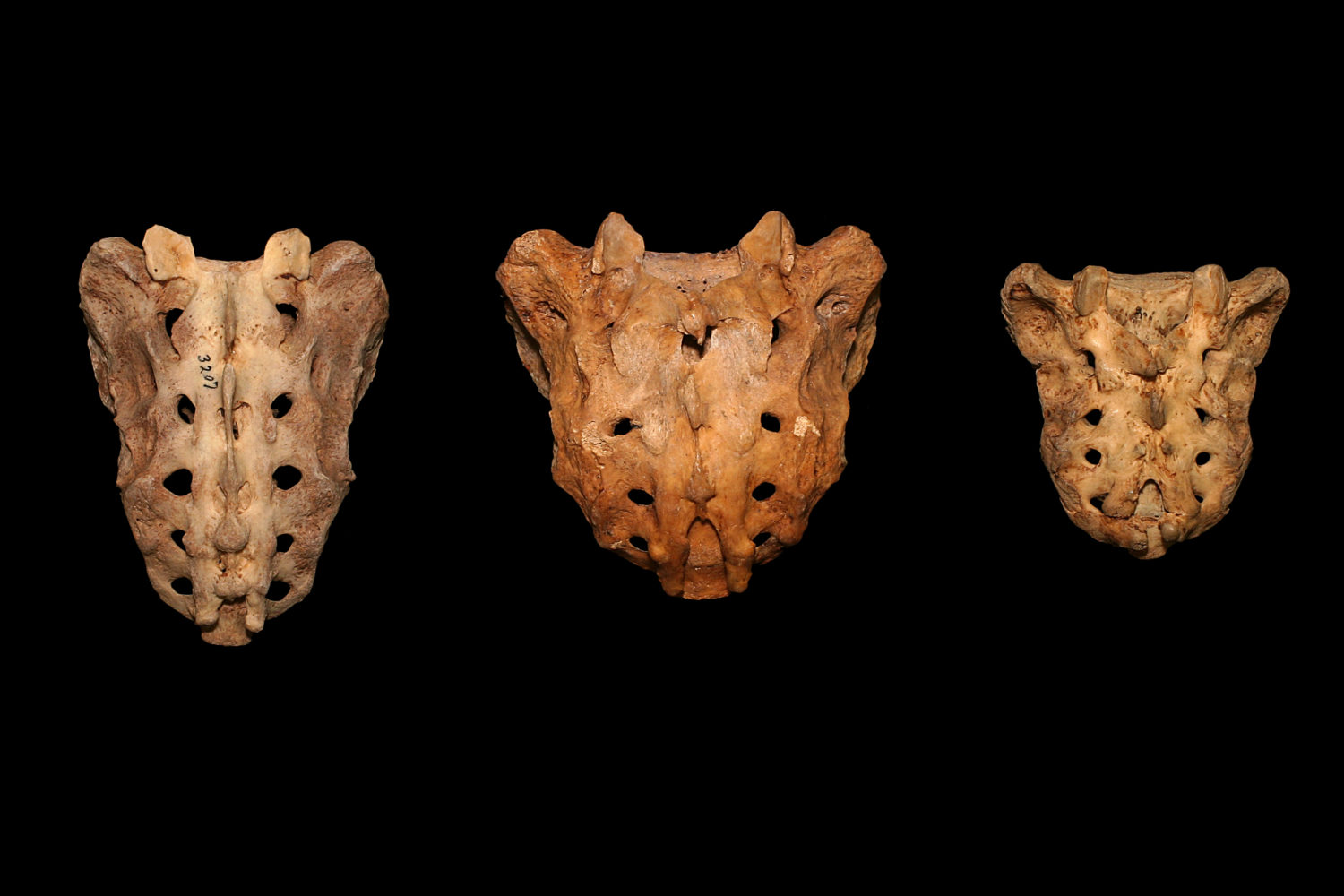 Three sacrum.  Originally five bones fused in the womb.  Different ratios of length to width due to the shape of bones..jpg