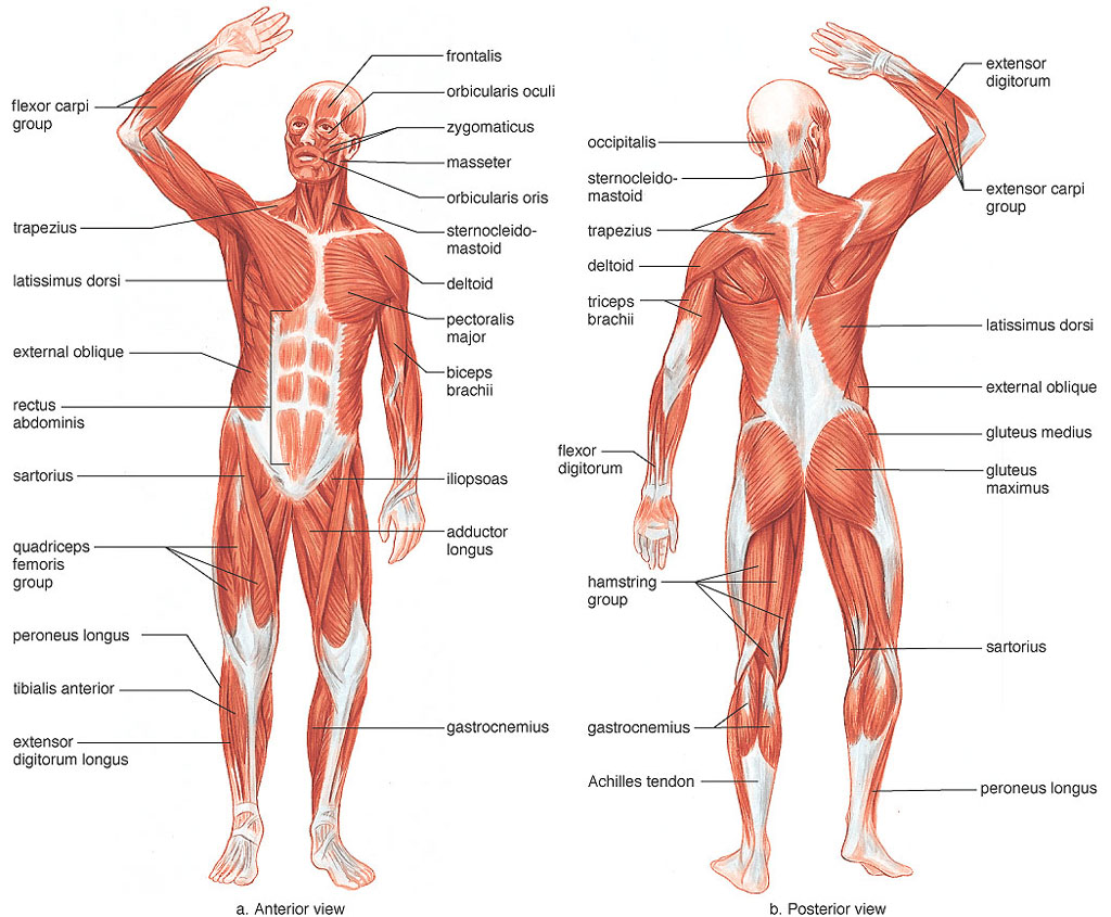 Introduction-To-Muscular-System-Anatomy-120413102293822.png.jpeg