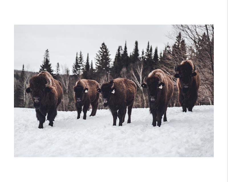 Terre des bisons,  Impression jet d'encre    16X20 pouces :  Prix avec cadre : 100,00$                 Prix sans cadre : 95,00$