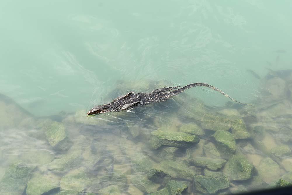 DSC_0219_monitor lizard.jpg