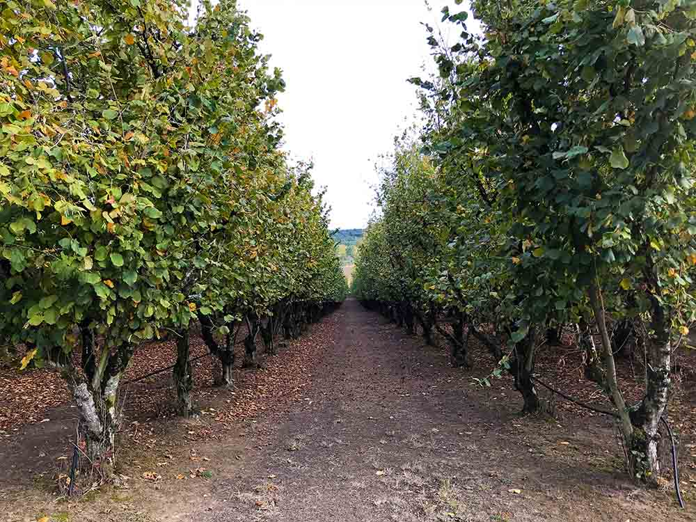 A row of hazelnut trees in the farm, where everything was beautifully maintained.