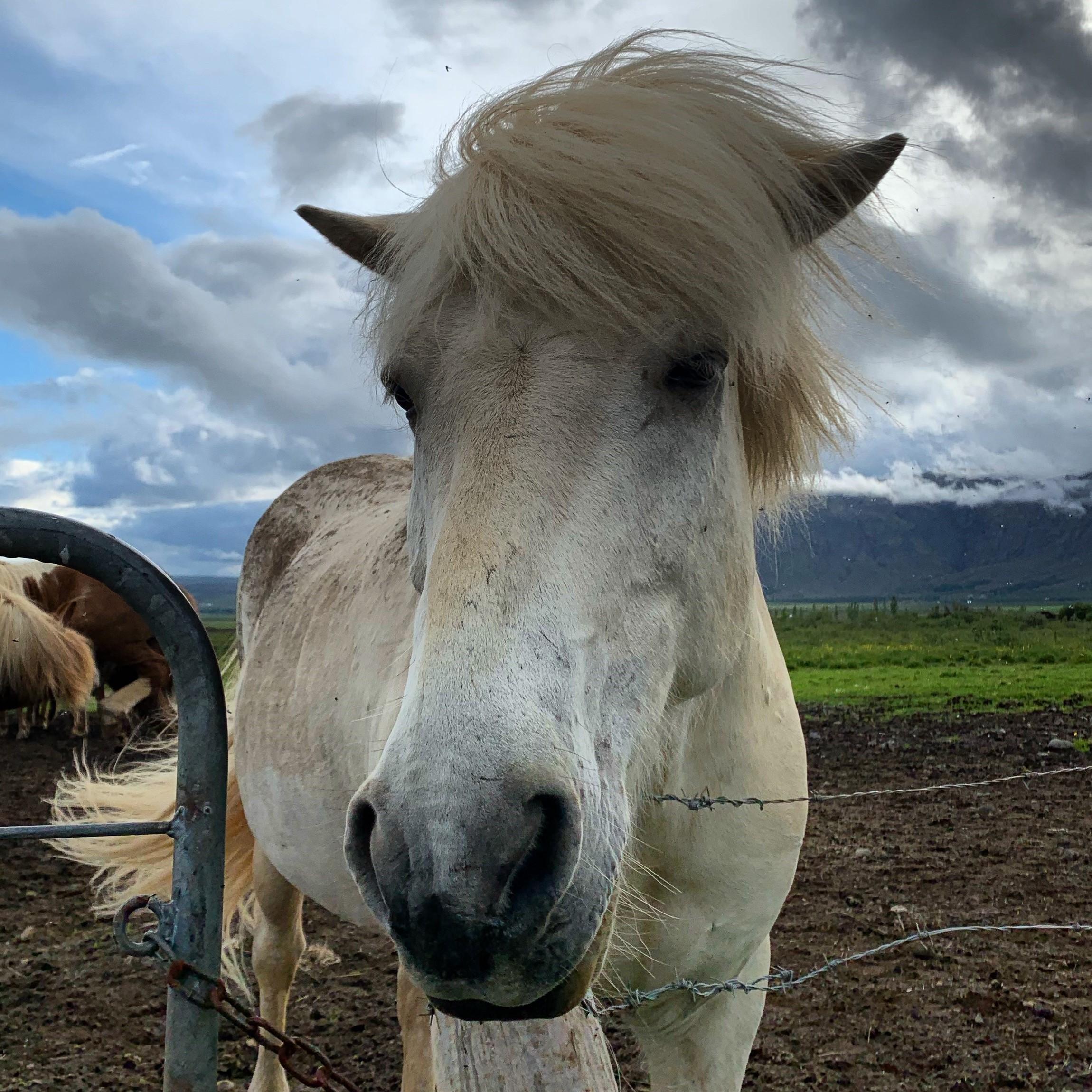 Horse Iceland.jpg