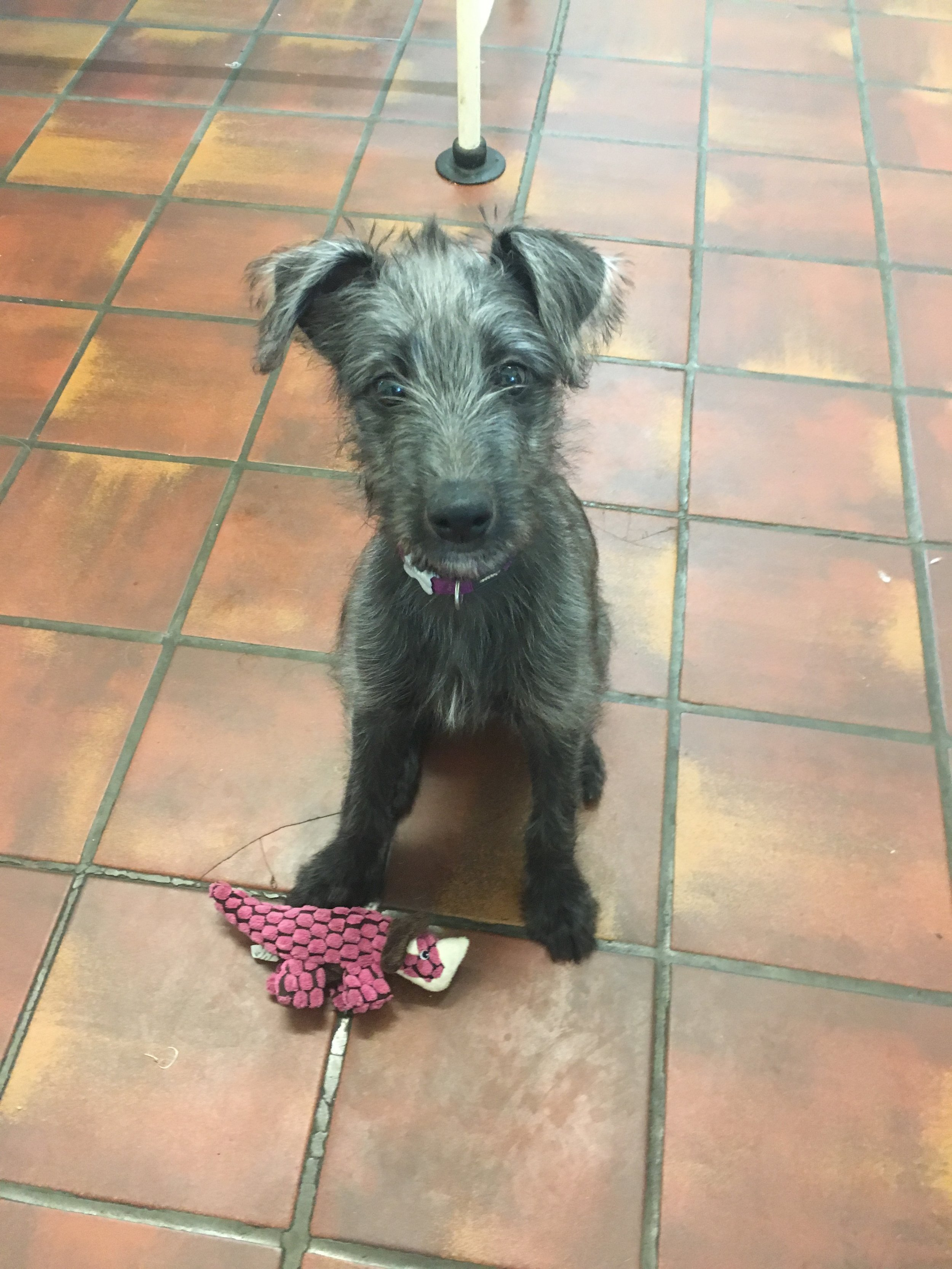 Cobweb belongs to head vet Maggie, and spends the majority of her time here with us at the practice. She is a lurcher and was born in May 2016. Cobweb is a cheeky puppy, and always keeps the nurses busy wanting playtime and cuddles! Here she is pictured with her favorite dinosaur toy.
