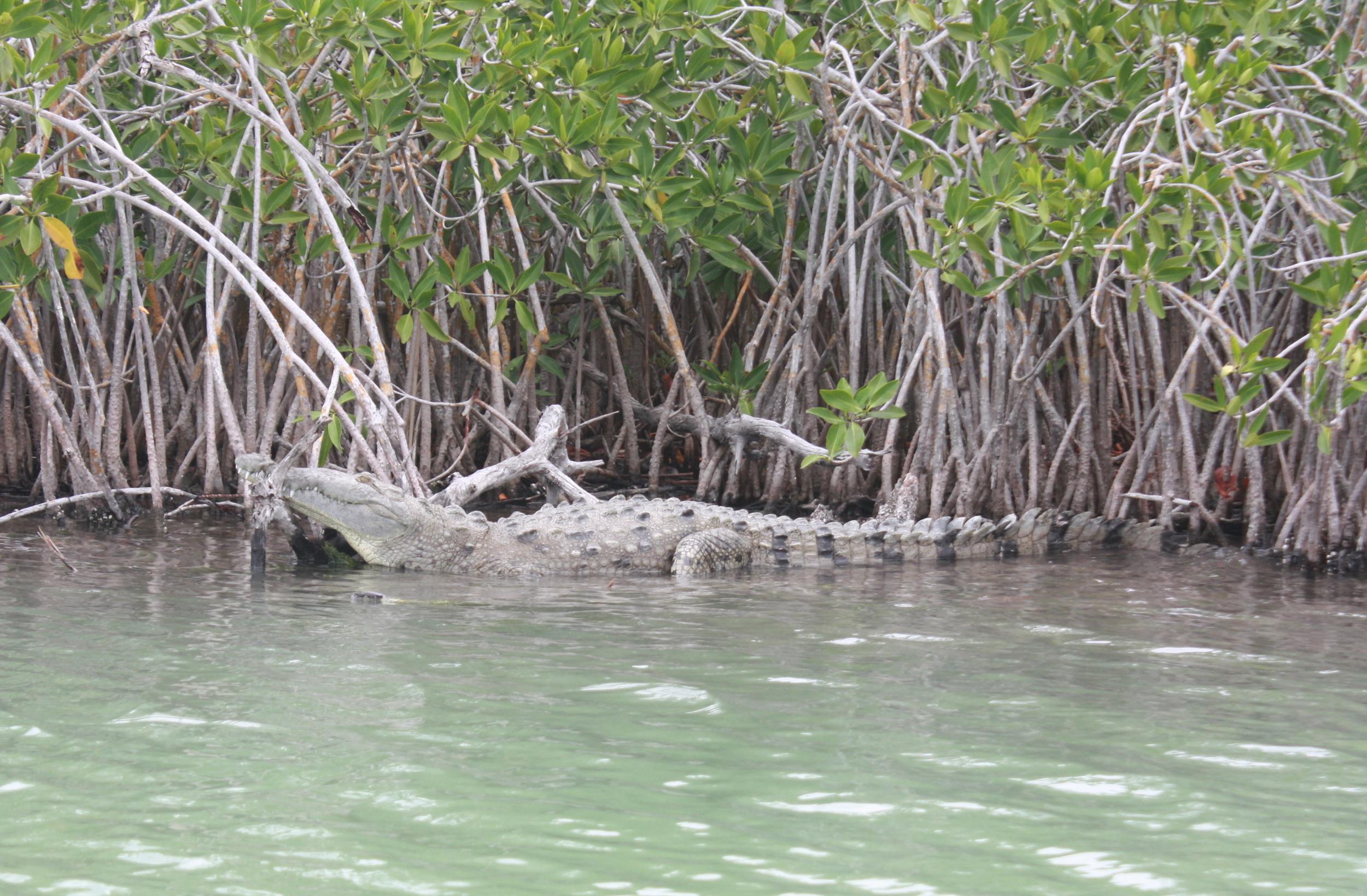 crocodile sun bathing