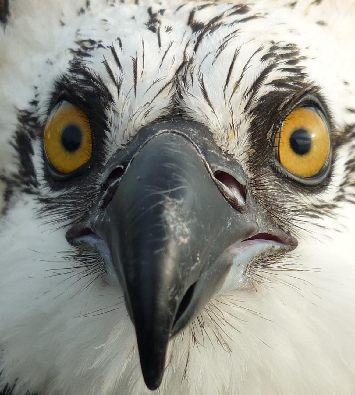 Osprey Headshot