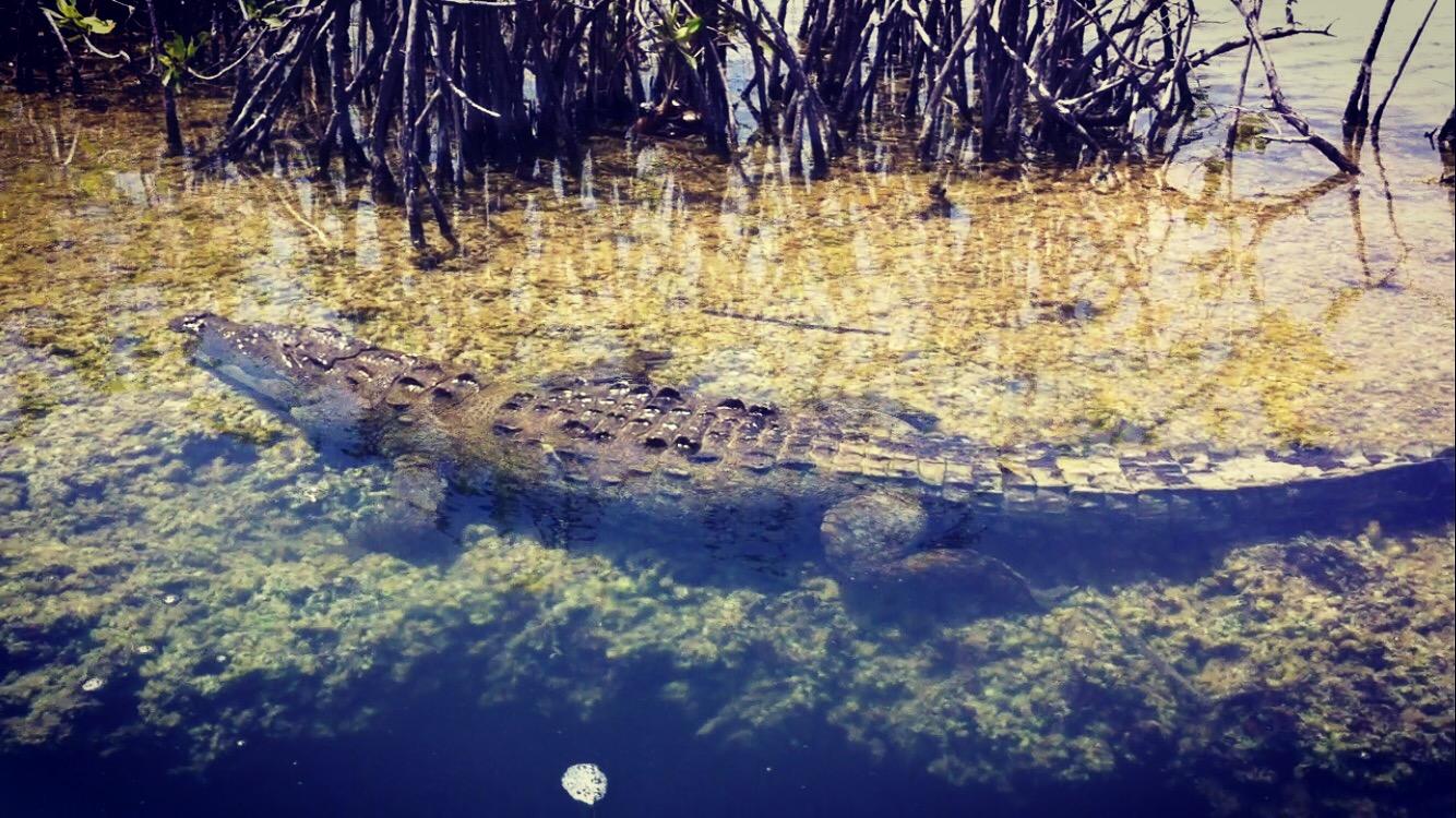 American Crocodile in Mexico