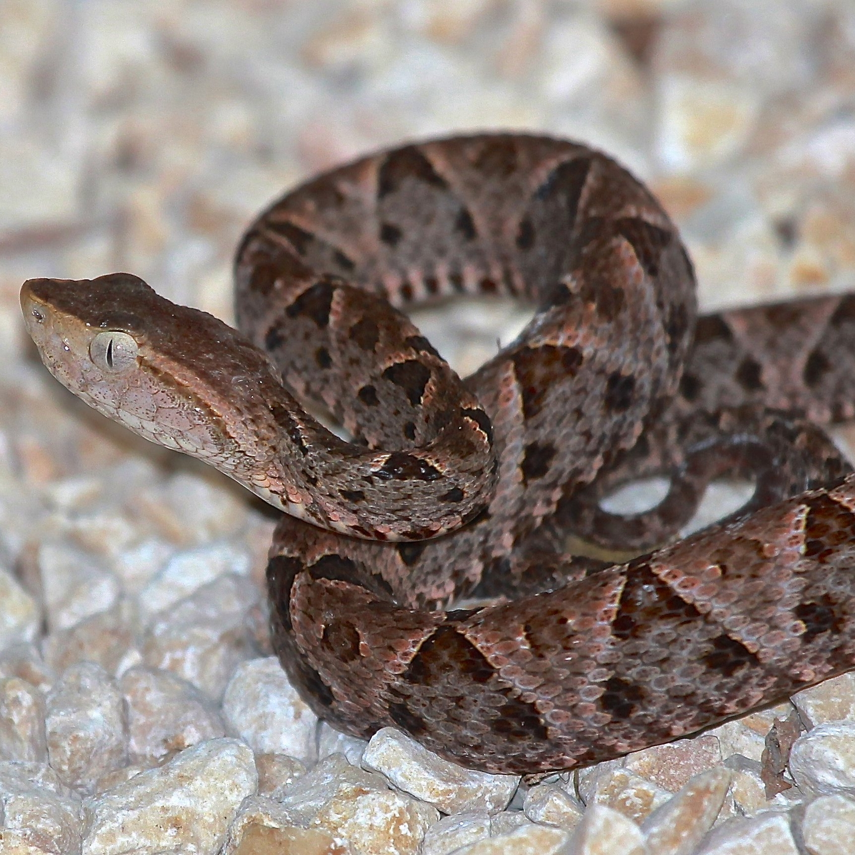 One of the most venomous snakes on the planet can be found in the jungles of Quintana Roo Mexico