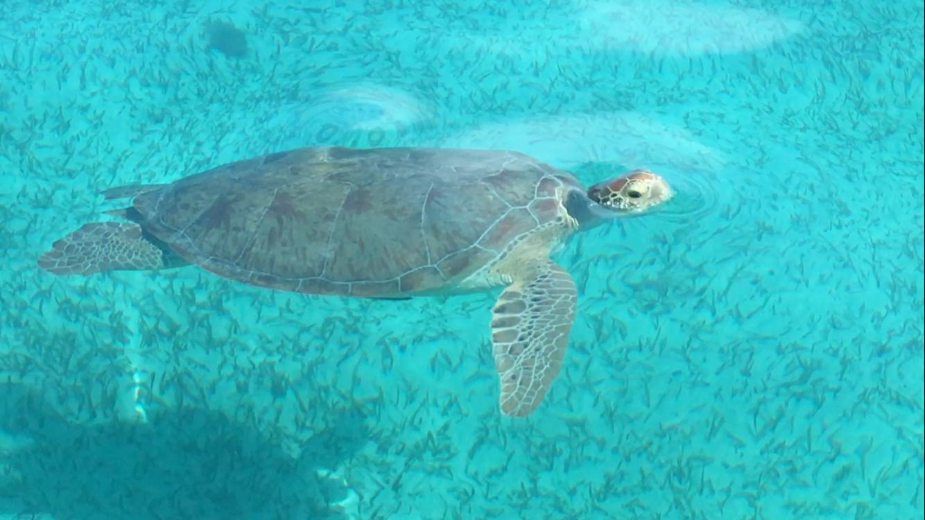 Green Sea Turtle Mexico