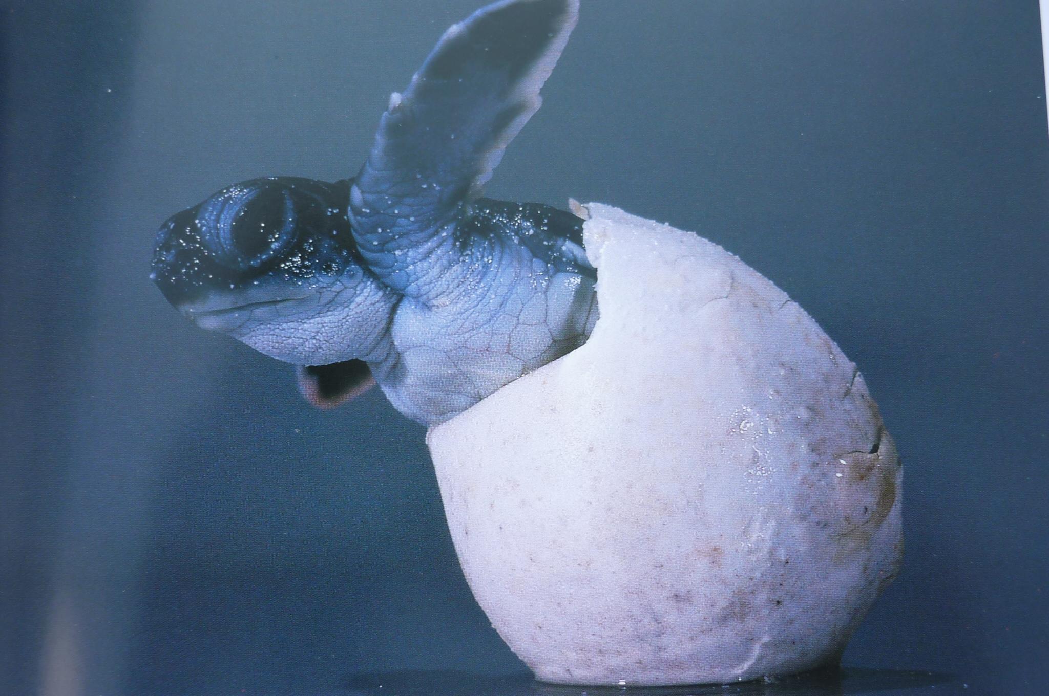 Green Sea Turtle Baby