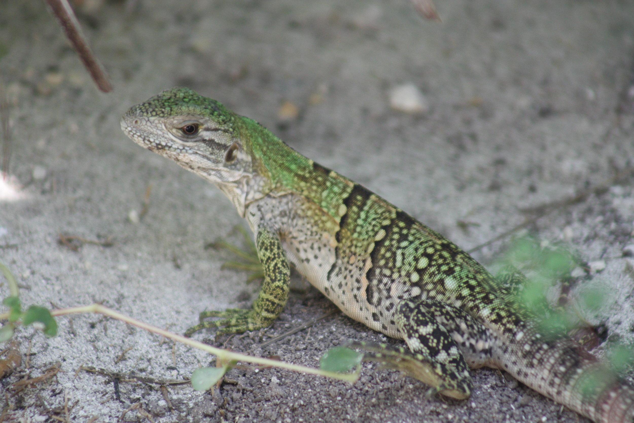 Baby Spiny Tailed Iguana