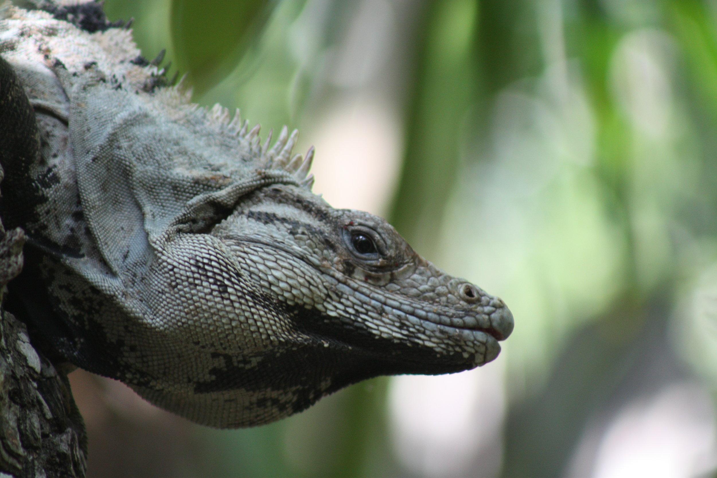 Spiny Tailed Iguana Quintana Roo