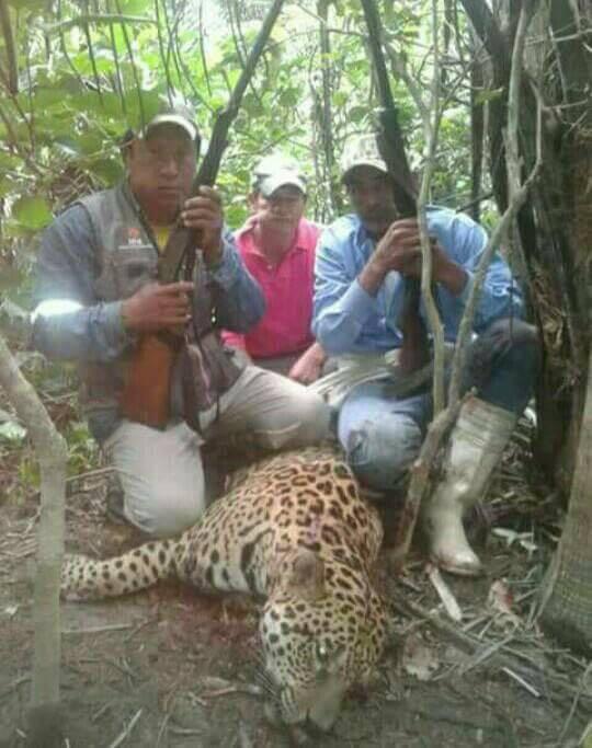 JAGUAR or Panthera ONCA onca