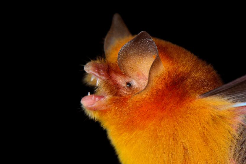 Mexican Funnel Eared Cave Bat, Yucatan Mexico  Photo by Jorge Machado Castro