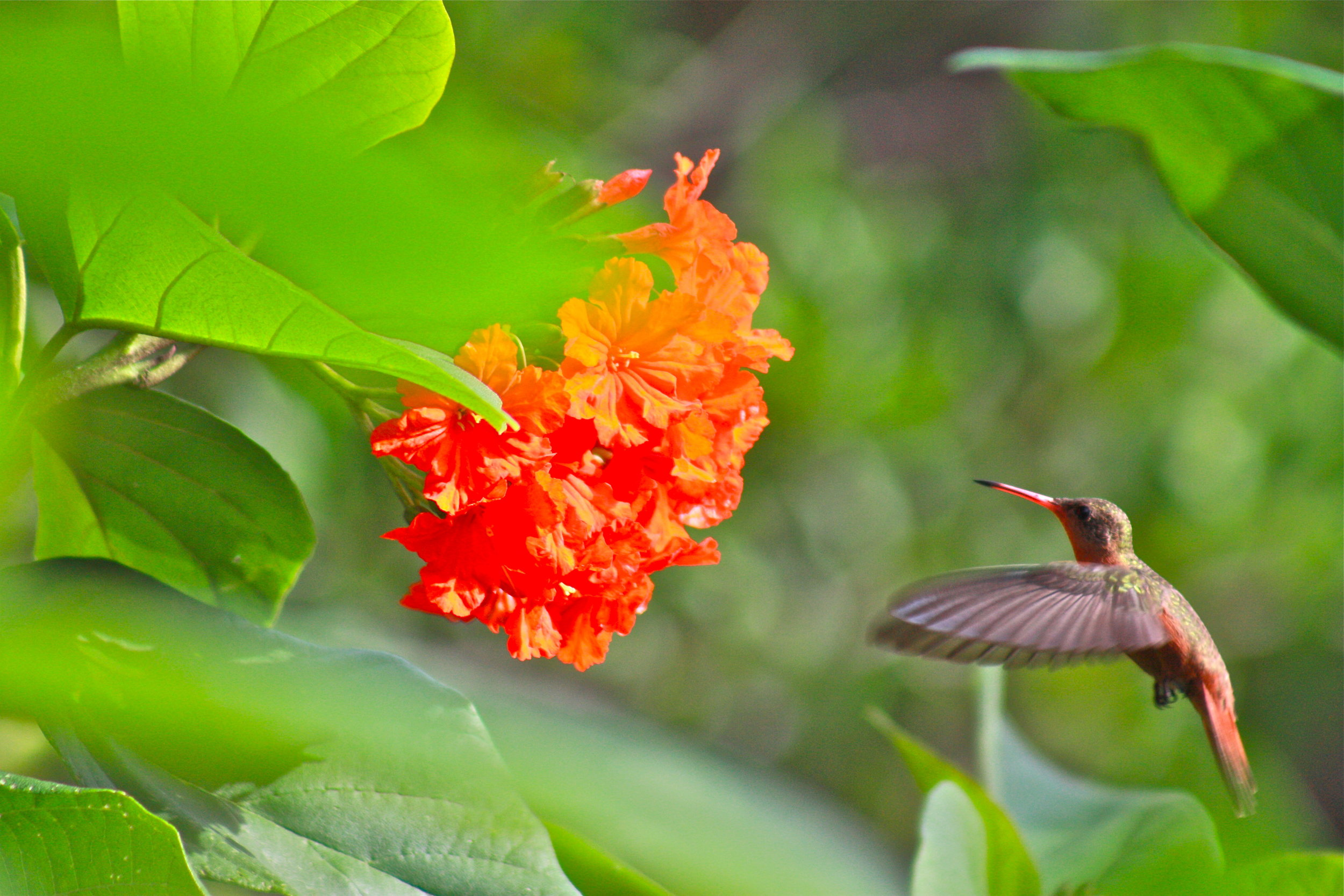 Humming Bird Quintana Roo