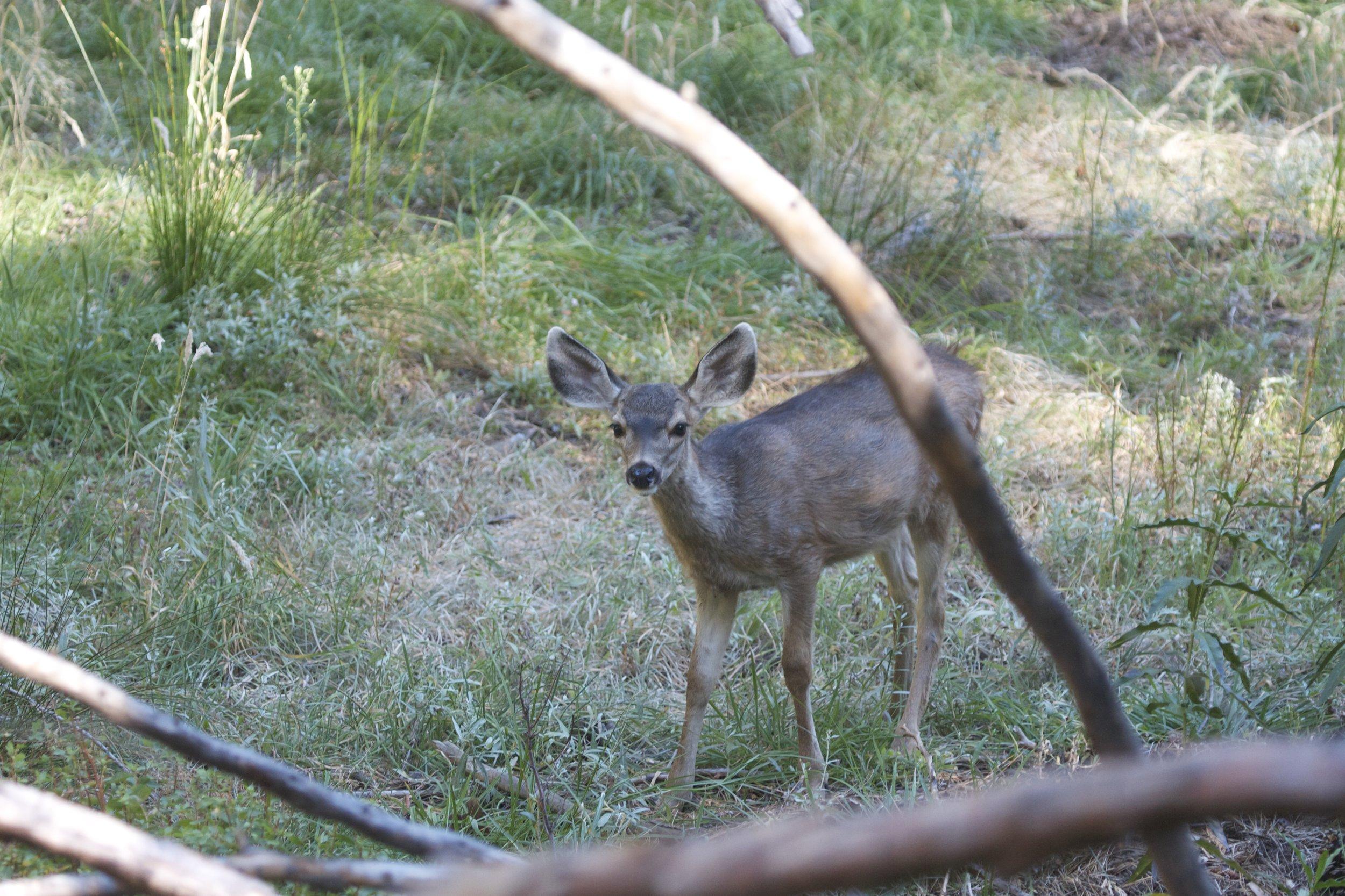 fawn deer Yosemite