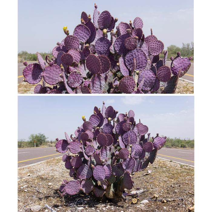 34/100: Purple Prickly Pear