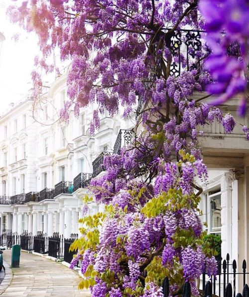 Whimsical wisteria in Kensington, London. Via Pinterest.