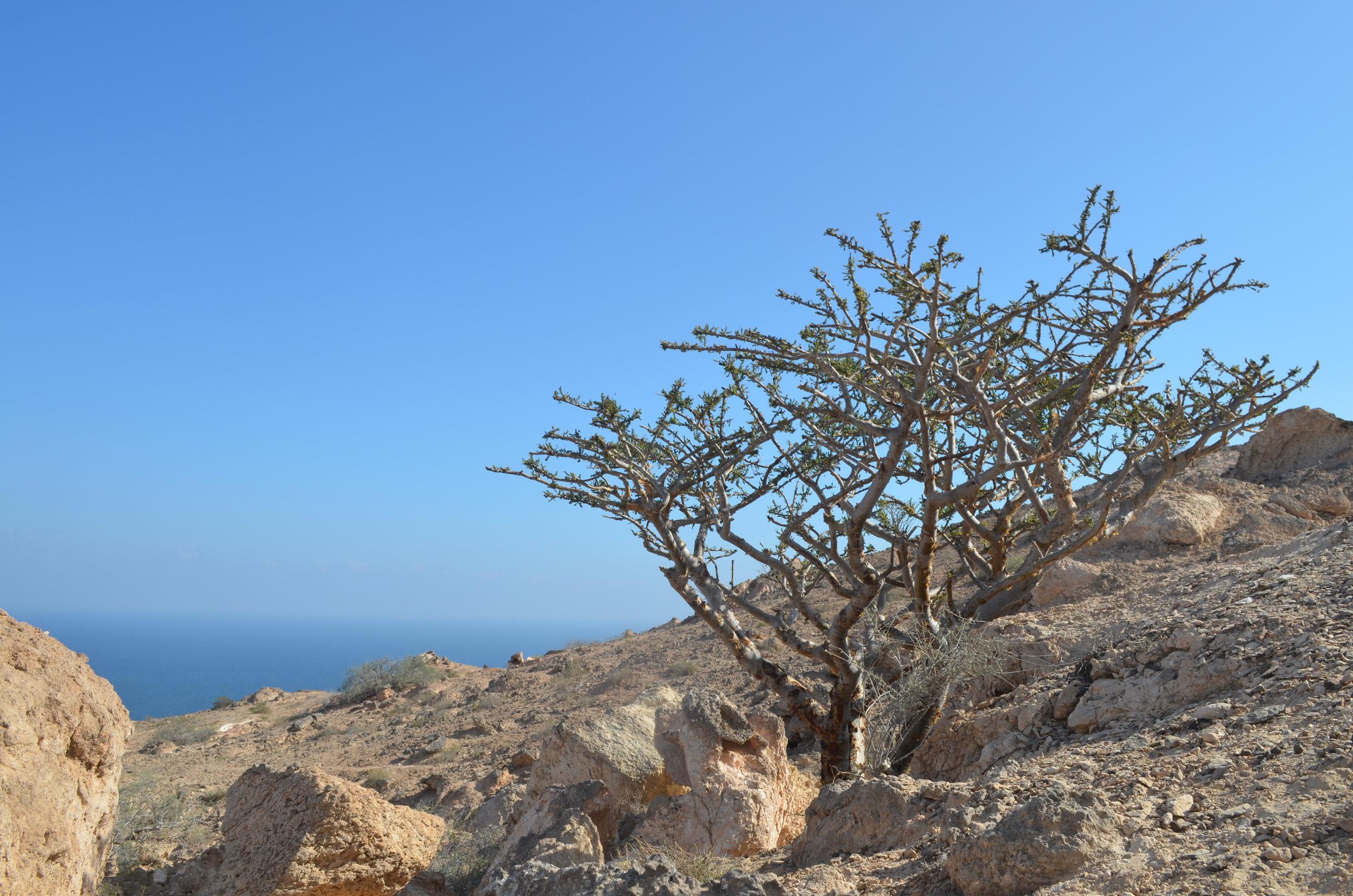frankincense tree good.jpg