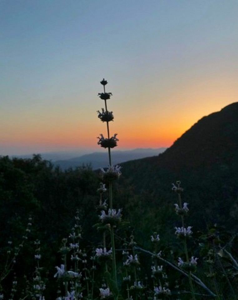 Photo by Amy Hazard - Black Sage in Local Mountains