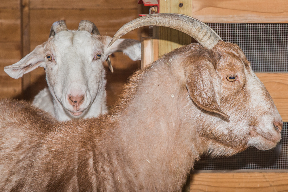 Noel (left) and Brownie (right)  - some of the goats