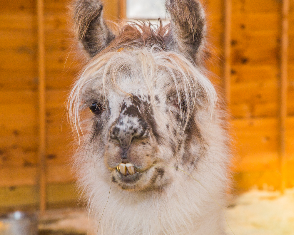 Close up of Dolly the Llama