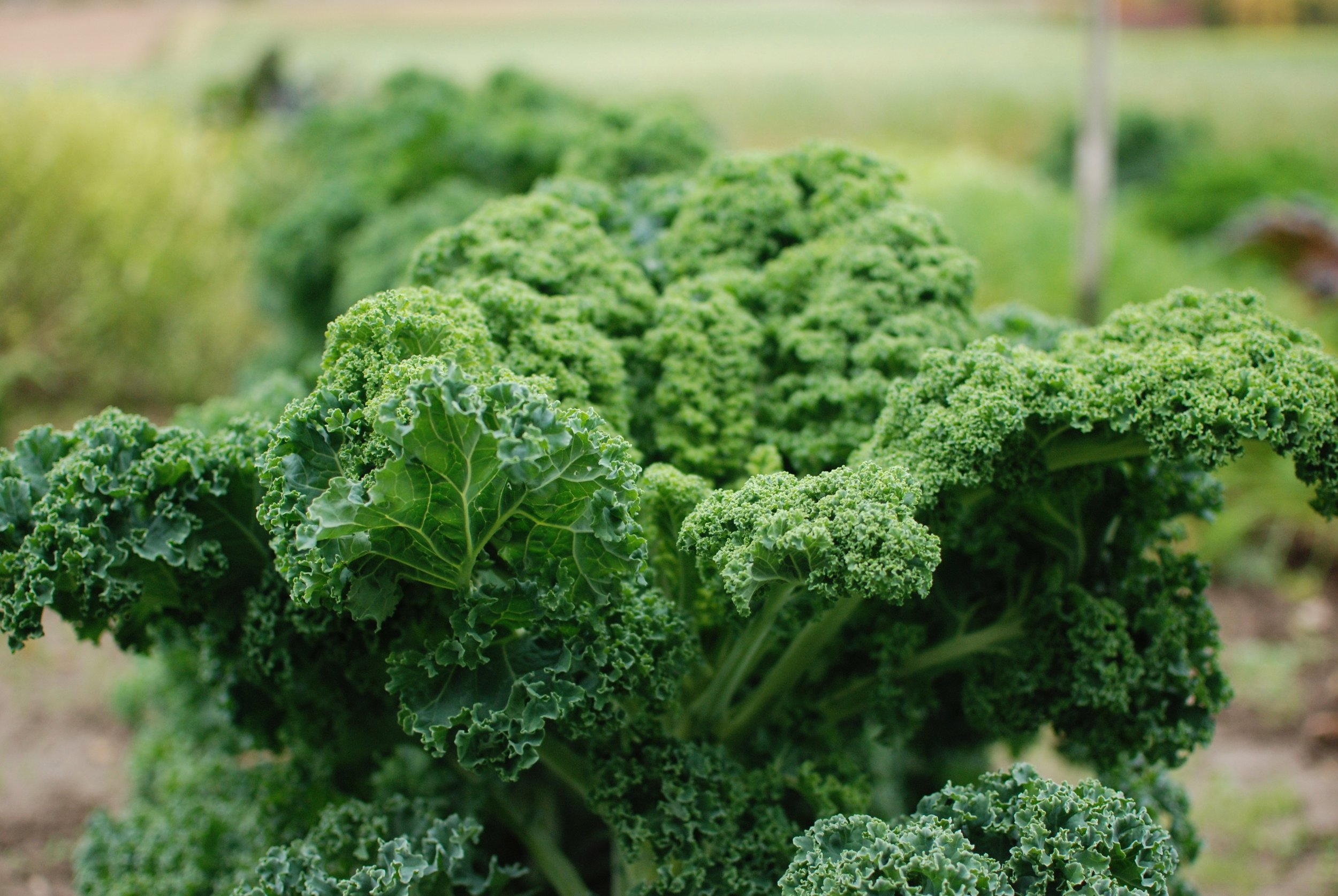 Kale is a hearty plant and very easy to grow! This beauty is growing in our garden right now!
