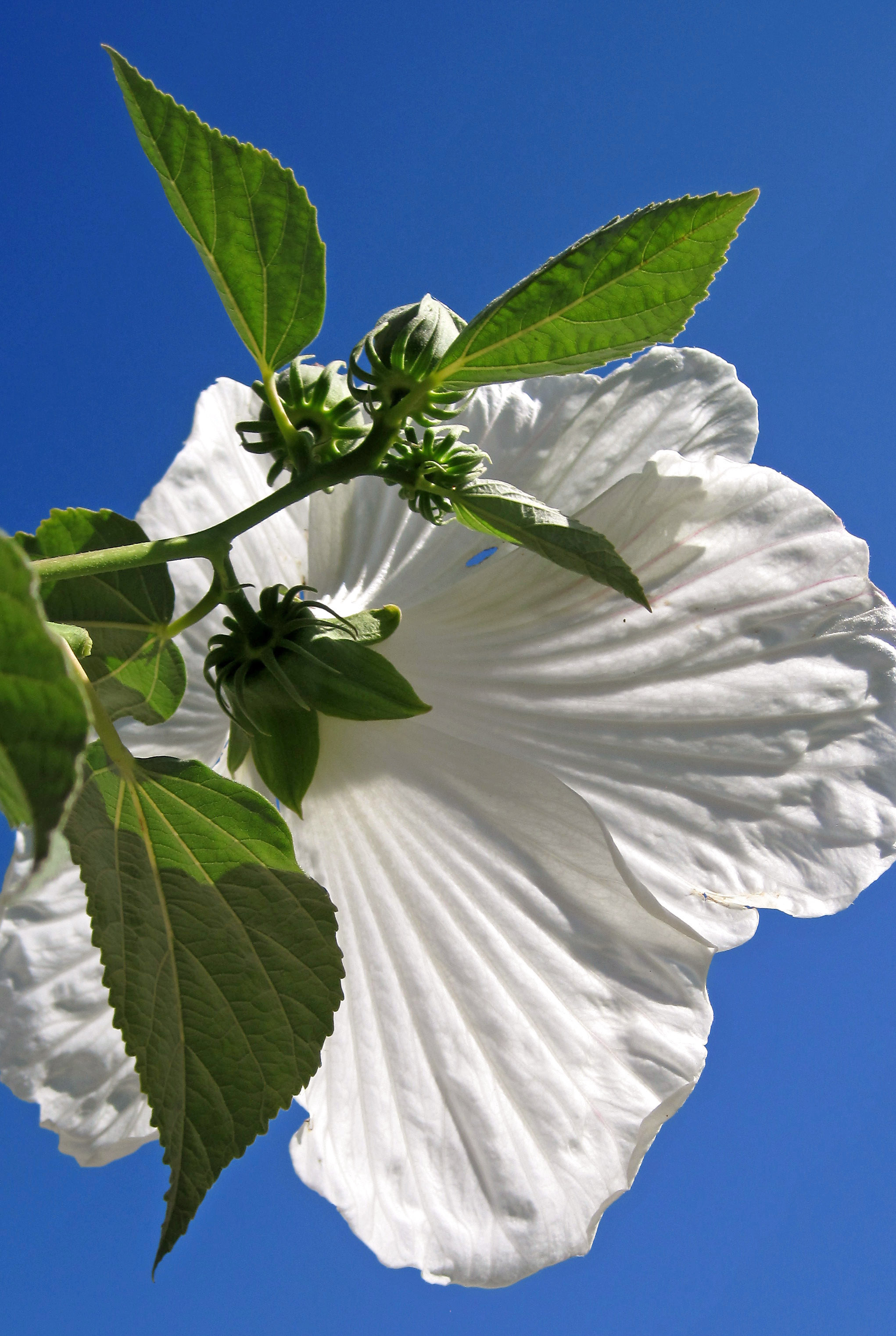 white crisp flower-1.jpg