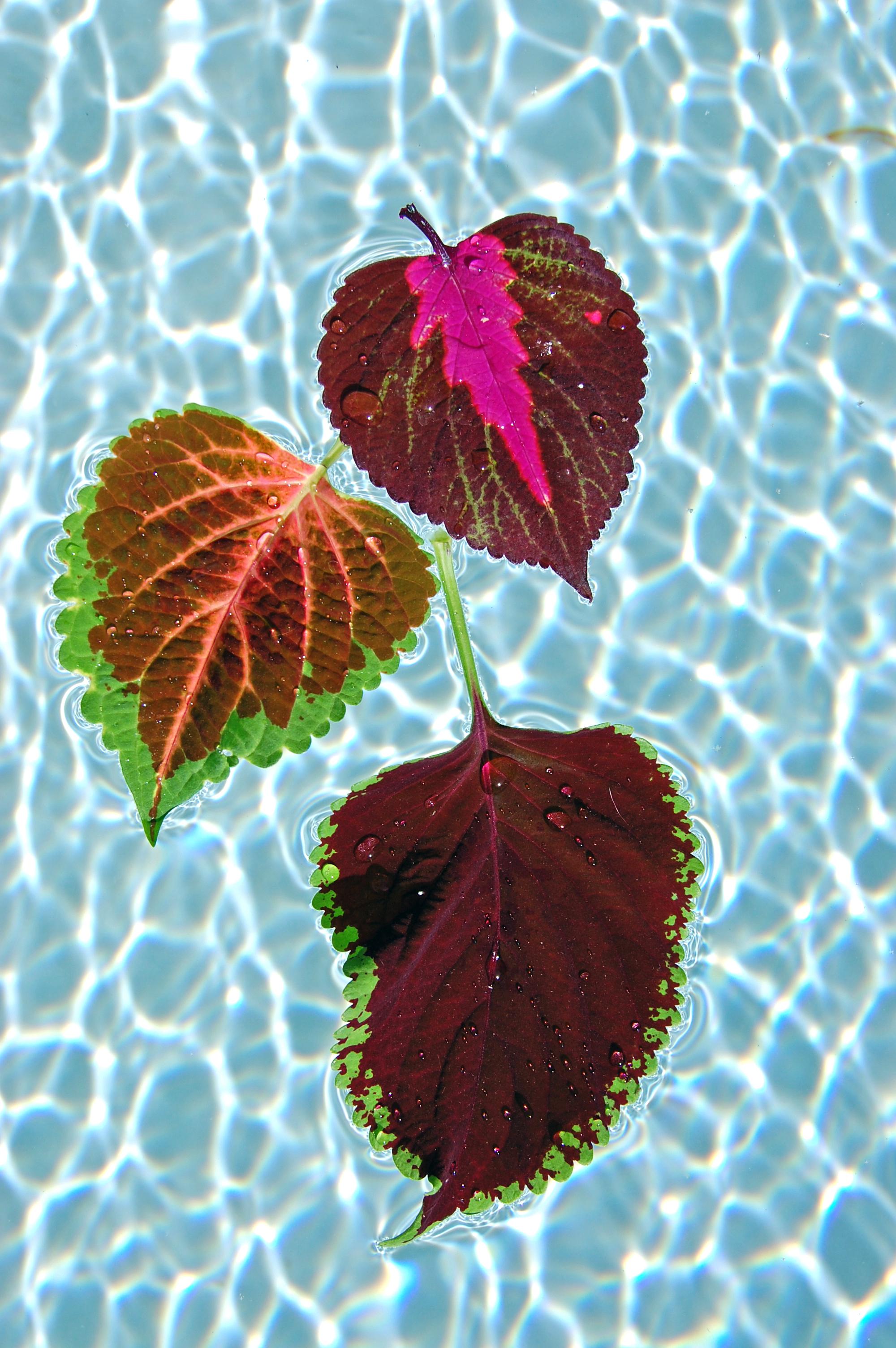 3 leaves - water.JPG
