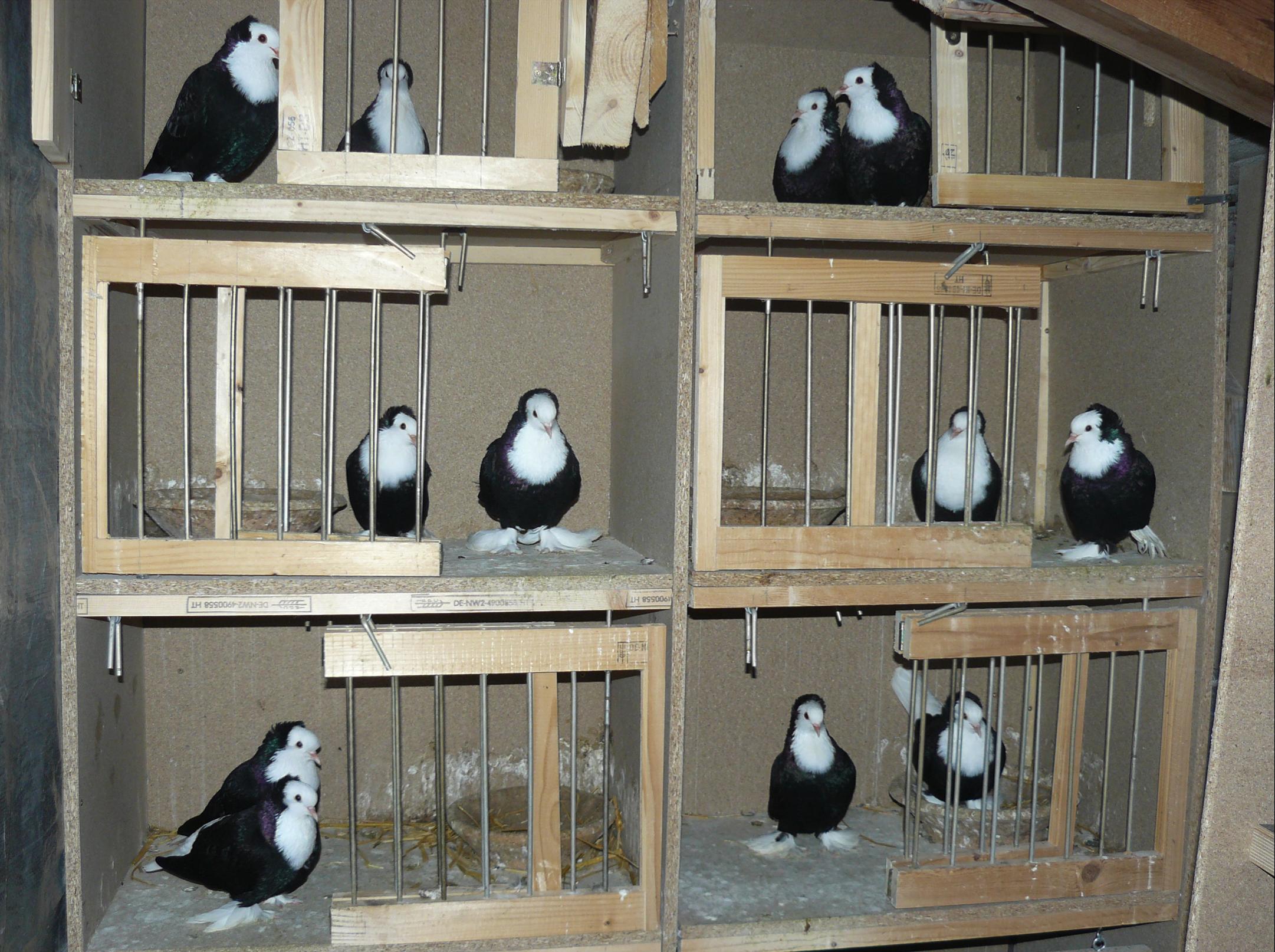 Thüringer Weißlätze, schwarz
