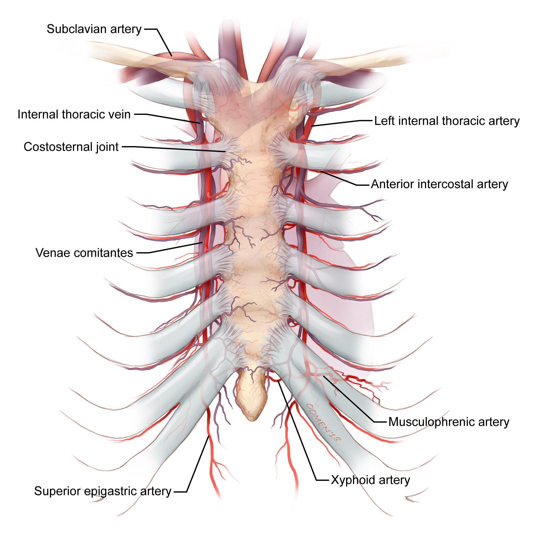 General sternum anatomy. Copyright 2018 Oomen/Gandhi