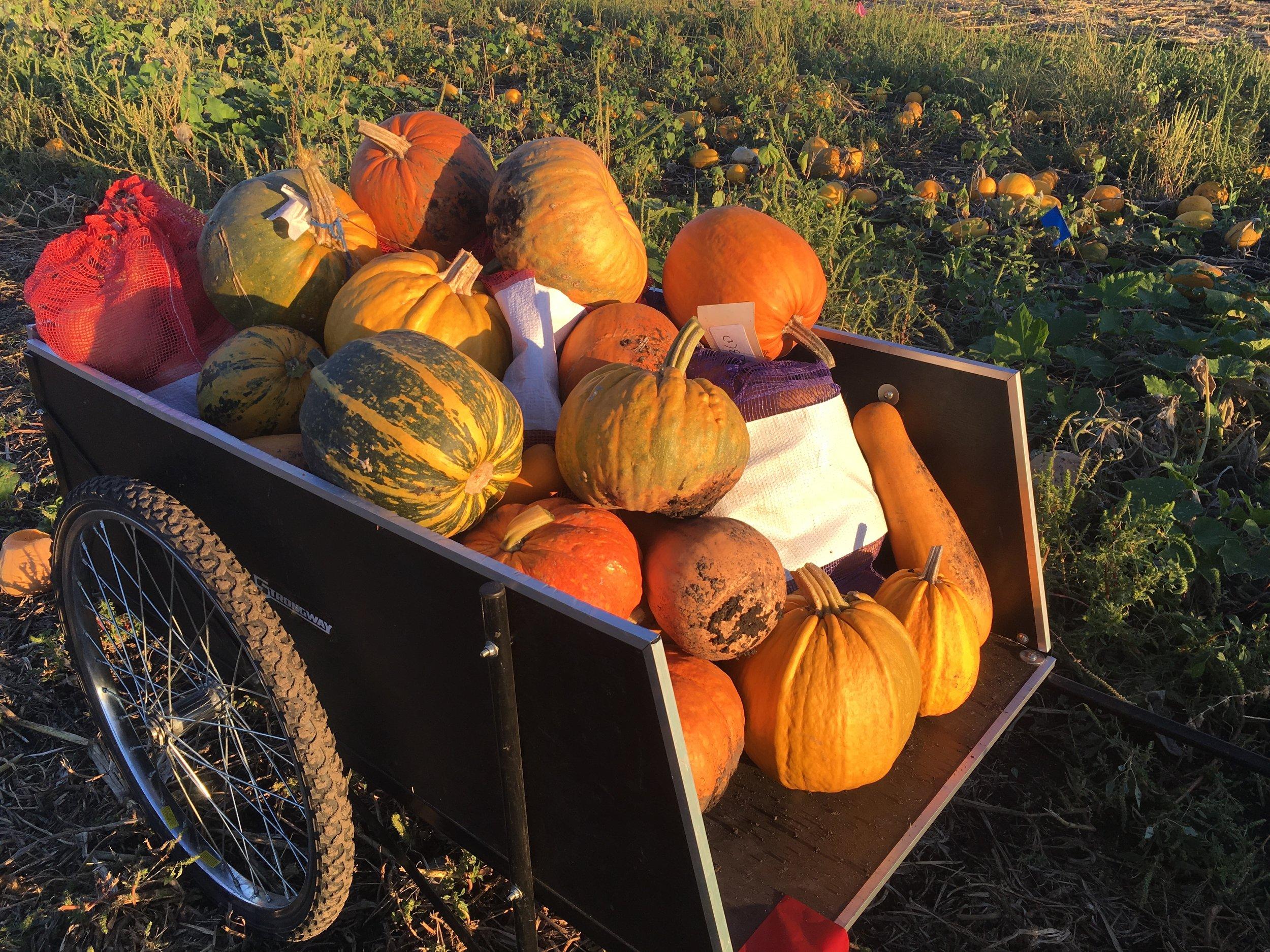 Kakai Squash, Valovsky Pumpkin, Omaha Pumpkin, Drew's Bumpy Squash, some random crosses from Ben's breeding project…