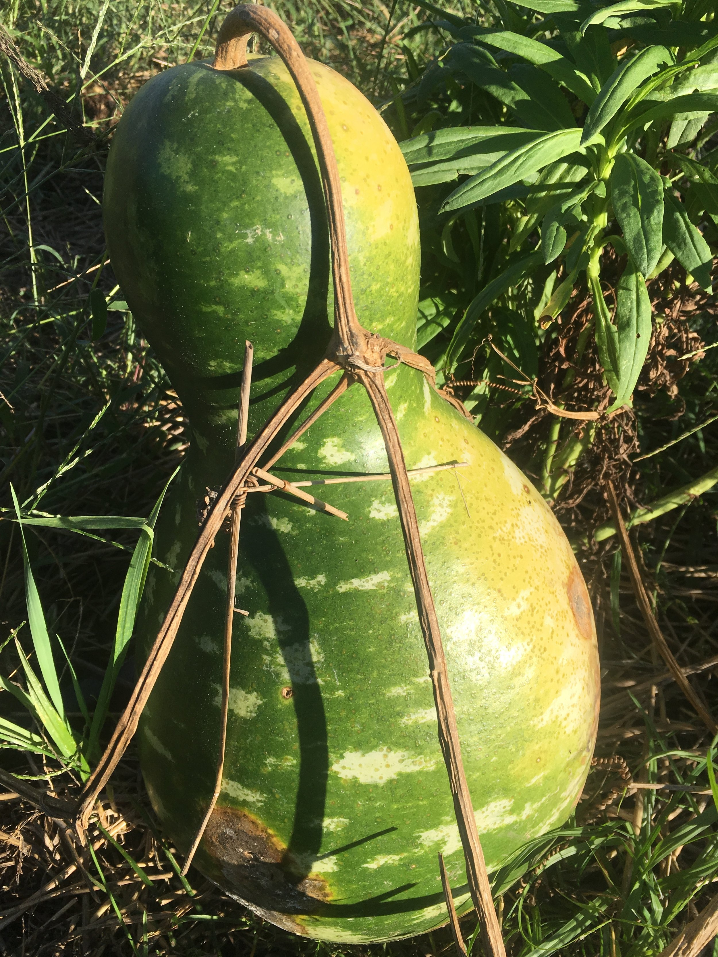 We had this water gourd show up so that is pretty cool….